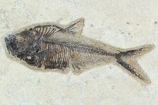 "6.6"" Fossil Fish (Diplomystus) - Green River Formation For Sale, #129557"