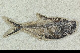 "4.9"" Fossil Fish (Diplomystus) - Green River Formation For Sale, #129560"