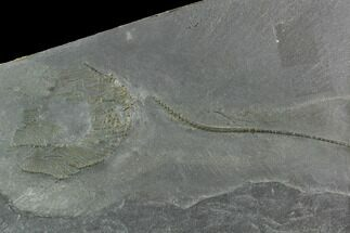 "4.45"" Pyritized Crinoid (Hapalocrinus) - Bundenbach, Germany For Sale, #129608"
