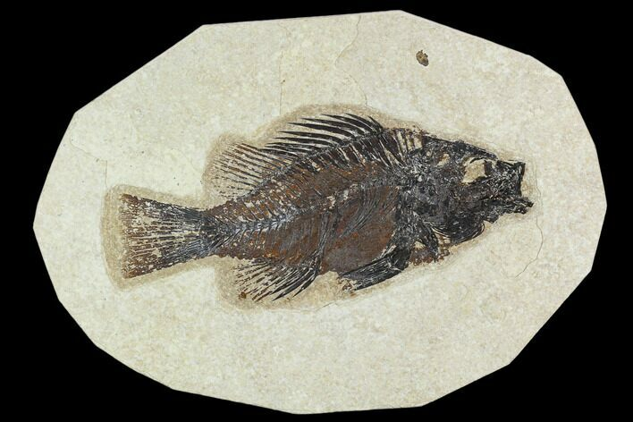 "5.2"" Fossil Fish (Cockerellites) - Green River Formation"