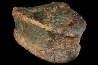 "3.6"" Hadrosaur (Edmontosaur) Toe Bone - South Dakota For Sale, #129797"