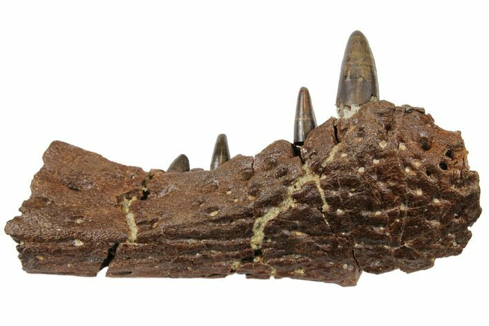 "2.9"" Cretaceous Crocodilian Jaw Section - Hell Creek Formation"