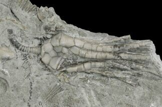 Decadocrinus depressus - Fossils For Sale - #130170