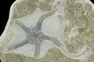 "6.4"" Wide Fossil Brittle Star (Palaeocoma) - Whitby, England For Sale, #130211"
