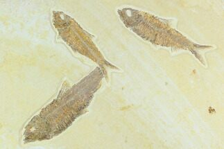Buy Three Detailed Fossil Fish (Knightia) - Wyoming - #130222