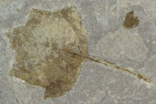 "4.1"" Fossil Poplar Leaf (Populus) - Nebraska For Sale, #130421"