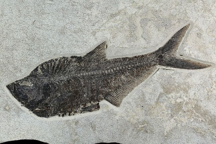 "15.8"" Fossil Fish (Diplomystus) From 18 Inch Layer - Hanger Installed"