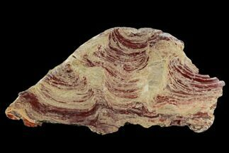 "18.7"" Polished Domal Stromatolite Slab - Western Australia For Sale, #130466"