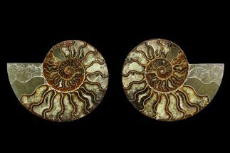 "Buy 6"" Agatized Ammonite Fossil (Pair) - Beautiful Preservation - #130078"
