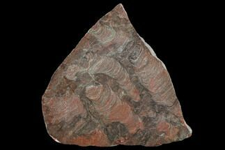 "5.9"" Polished Stromatolite (Inzeria) Slab - 800 Million Years For Sale, #130649"