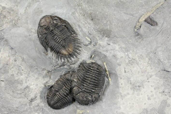 Awesome Bellacartwrightia & Eldredgeops Trilobite Plate - NY