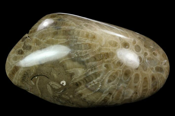 "4.8"" Polished ""Petoskey Stone"" (Fossil Coral) - Michigan"