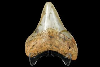 "Buy 2.99"" Fossil Megalodon Tooth - North Carolina - #130702"