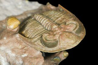 Tiny Zlichovaspis Trilobite With Micro Fossils For Sale, #131291