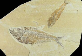 "6.3"" Fossil Fish (Diplomystus) & Mioplosus - Green River Formation For Sale, #131213"