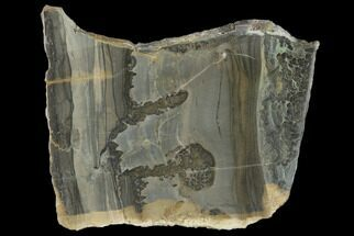 "Buy 3.3"" Triassic Aged Stromatolite Fossil - England - #130942"