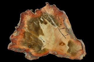 Araucaria sp. - Fossils For Sale - #131415