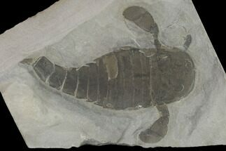"Buy 3.6"" Eurypterus (Sea Scorpion) Fossil - New York - #131488"