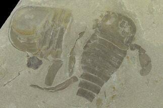 "Buy 4.1"" Plate of Eurypterus (Sea Scorpion) Fossils - New York - #131491"