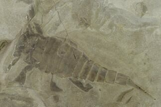 "4.4"" Eurypterus (Sea Scorpion) Fossil - New York For Sale, #131492"