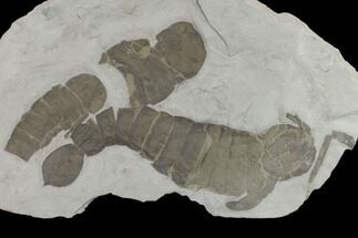 "10.5"" Plate of Eurypterids (Pterygotus) From New York - Rare Species For Sale, #131495"