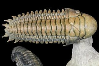 Two, Large, Crotalocephalina Trilobites - Flying Preparation For Sale, #131336
