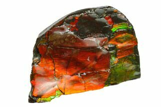 "1.3"" Iridescent Ammolite - Fossil Ammonite Shell For Sale, #130742"