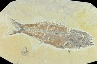 "Bargain 8.3"" Fossil Fish (Mioplosus) - Uncommon Species For Sale, #131138"