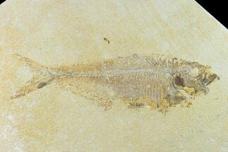 "Bargain 9.9"" Fossil Fish (Diplomystus) - Green River Formation For Sale, #131135"