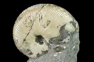 "1.7"" Fossil Hoploscaphites Ammonite - South Dakota For Sale, #131222"