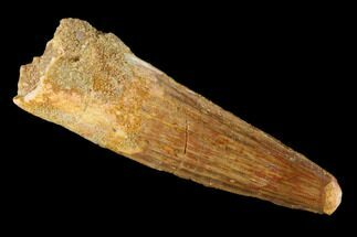 "2.21"" Spinosaurus Tooth - Real Dinosaur Tooth For Sale, #131039"