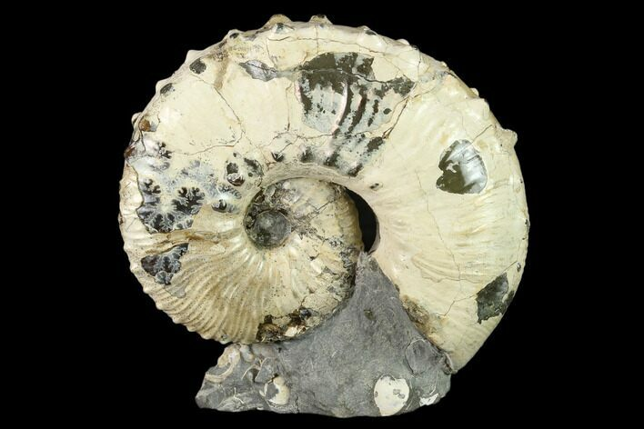"3.3"" Fossil Hoploscaphites Ammonite - South Dakota"