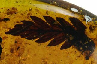 Detailed Fossil Fern In Amber - Myanmar For Sale, #131825