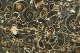 "3.3"" Polished Ammonite (Promicroceras) Slab - ""Marston Magna Marble"" - #131990-1"