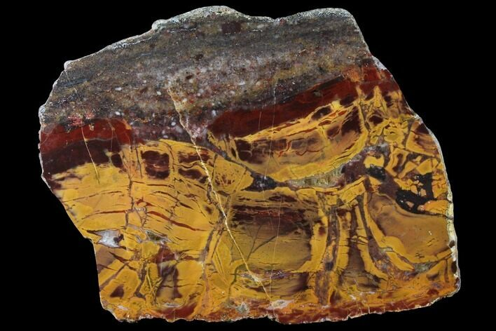 "6.1"" Polished, Chert-Replaced Domal Stromatolite Slab - Australia"