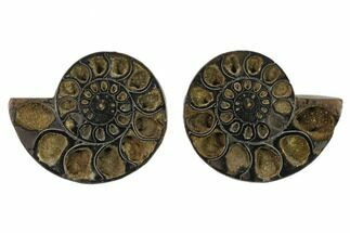 "4.65"" Cut/Polished Ammonite (Phylloceras?) Pair - Unusual Black Color For Sale, #132563"