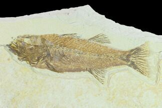 "6.1"" Fossil Fish (Mioplosus) - Uncommon Species For Sale, #132872"