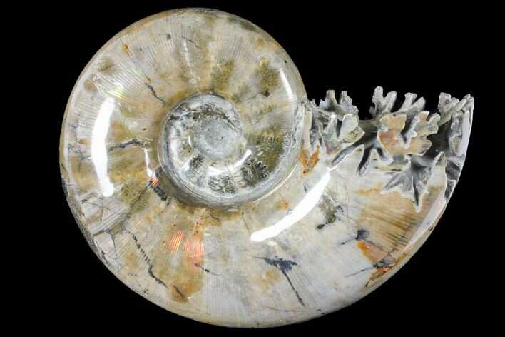 "7.7"" Polished, Agatized Ammonite (Phylloceras?) - Madagascar"