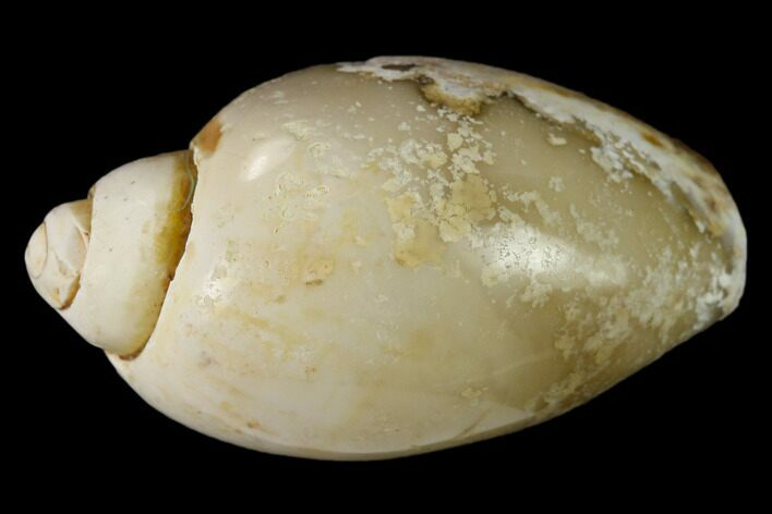 "1.12"" Polished, Chalcedony Replaced Gastropod Fossil - India"