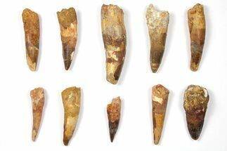 "Buy Wholesale Lot: 2 to 3.4"" Bargain Spinosaurus Teeth - 10 Pieces - #133378"