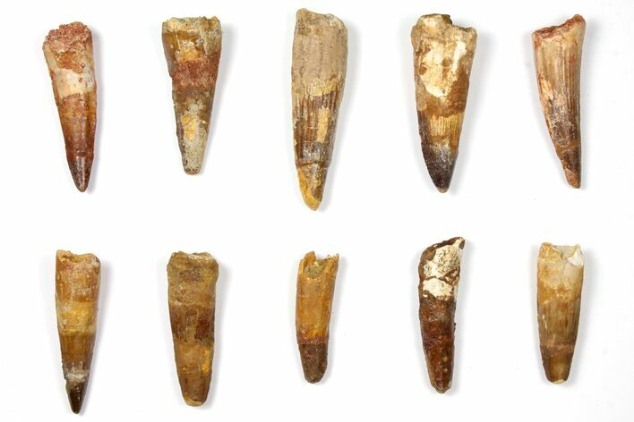 "Wholesale Lot: 1.9 to 2.9"" Bargain Spinosaurus Teeth - 10 Pieces"