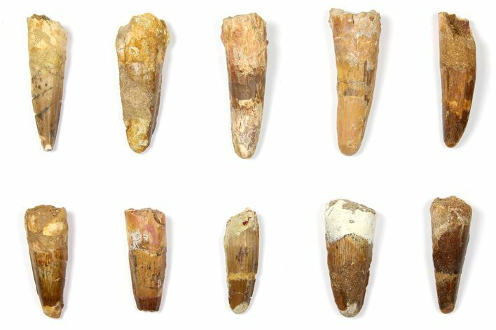 "Wholesale Lot: 1.6 to 2.3"" Bargain Spinosaurus Teeth - 10 Pieces"
