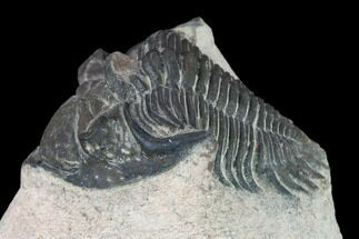 Metacanthina issoumourensis - Fossils For Sale - #133968