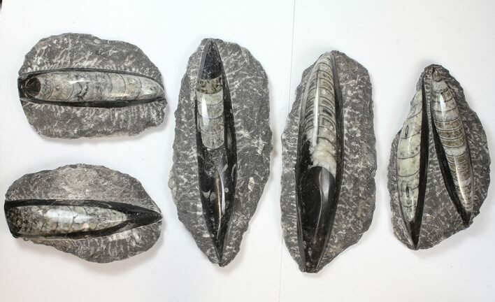 "Wholesale Lot: 4-7"" Polished Orthoceras Fossils - 50 Pieces"