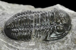 ".85"" Detailed Gerastos Trilobite Fossil - Morocco For Sale, #134060"
