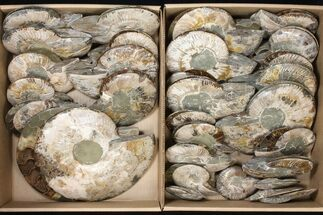 "Wholesale Lot: 3.2 - 9.8"" Cut/Polished Ammonite Fossils - 29 Pairs For Sale, #133877"