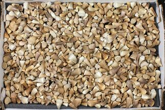 Wholesale Lot: Assorted Fossil Mosasaur Teeth - 1000 Pieces For Sale, #134129
