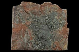 "10"" Silurian Fossil Crinoid (Scyphocrinites) Plate - Morocco For Sale, #134246"