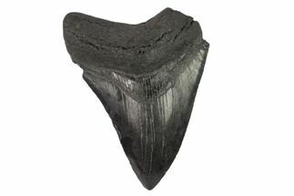 "Bargain, 3.71"" Partial Megalodon Tooth - Serrated Blade For Sale, #134297"