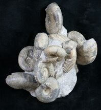 Very Nice Kepplerites Ammonite Cluster For Sale, #9458